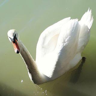Cigno #cigno #laguna #lagunadibibione #bibione #litoraneaveneta #meravigliedellanatura #eleganza #elenaingiro #mybibione #visitbibione